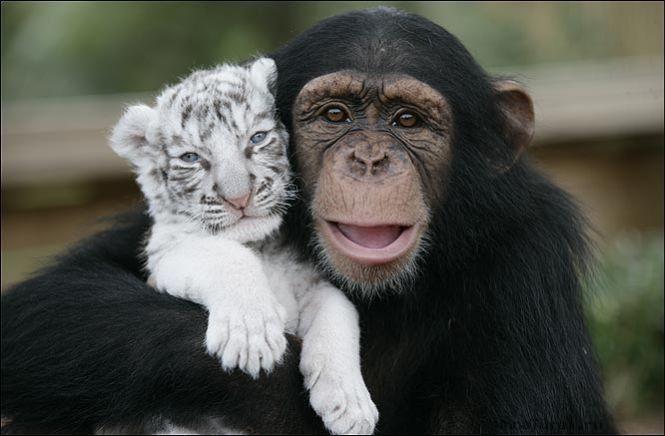Шимпанзе Аджанта держит белого тигренка на плече. Фото