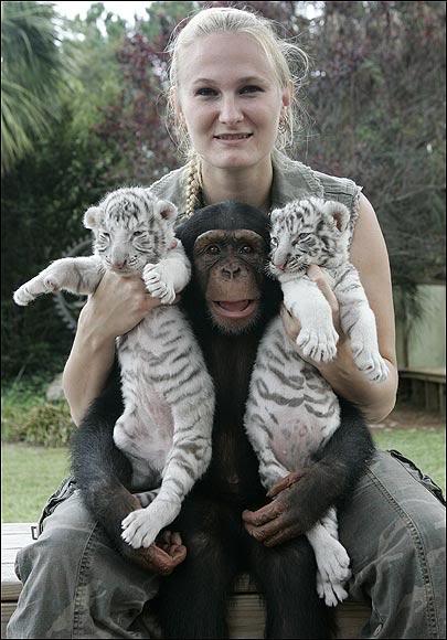 Чайна-Йорк с белыми тигрятами и шимпанзе. Фото