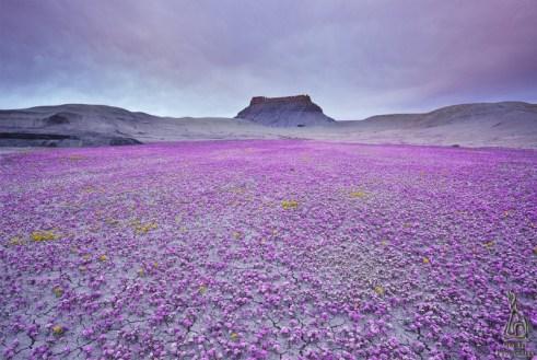 Цветущая пустыня Анза Боррего. Национальный парк в Калифорнии. Фото