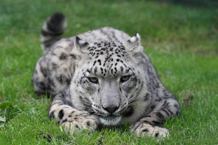 Cнежный барс (ирбис) лежит на траве. Фото / Snow Leopard. Photo