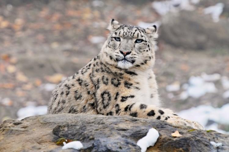 Лежащий снежный барс (ирбис). Фото / Snow Leopard. Photo