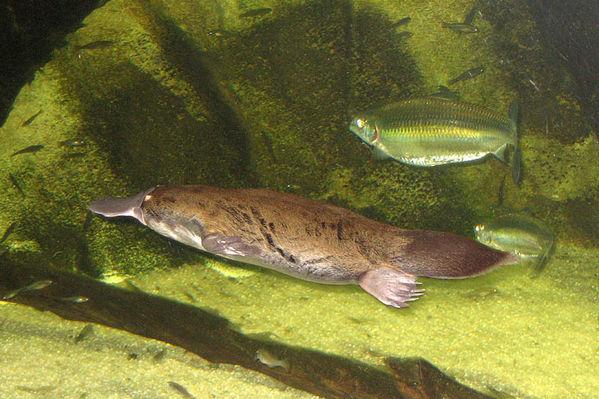 Утконос и рыбы. Фото