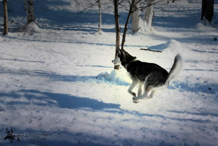 Собака породы сибирский хаски бежит по снегу. Фото
