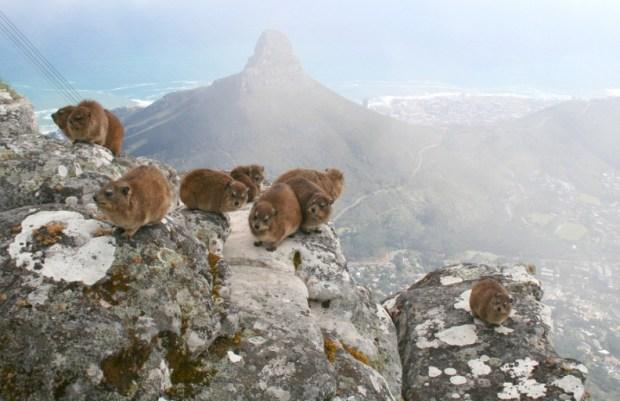 капские даманы в национальном парке Столовая гора (ЮАР). Фото / Rock Hyrax. Photo