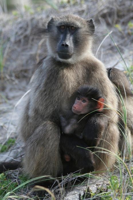 Медвежьи павианы в национальном парке Столовая гора (ЮАР). Фото / Chacma Baboons. Photo