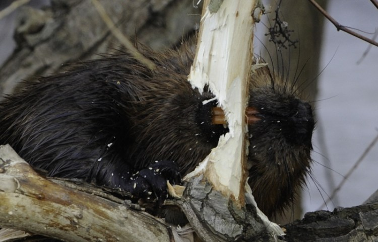 Бобр грызет дерево, зубы-резцы крупным планом. Фото