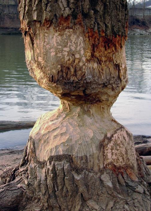 Дерево, изгрызенное бобром. Фото