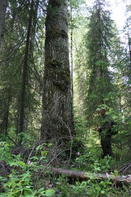 Огромная осина в девственных лесах Коми. Фото