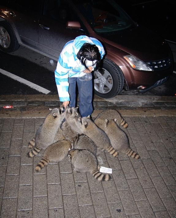 Кормление енотов на улице города. Фото