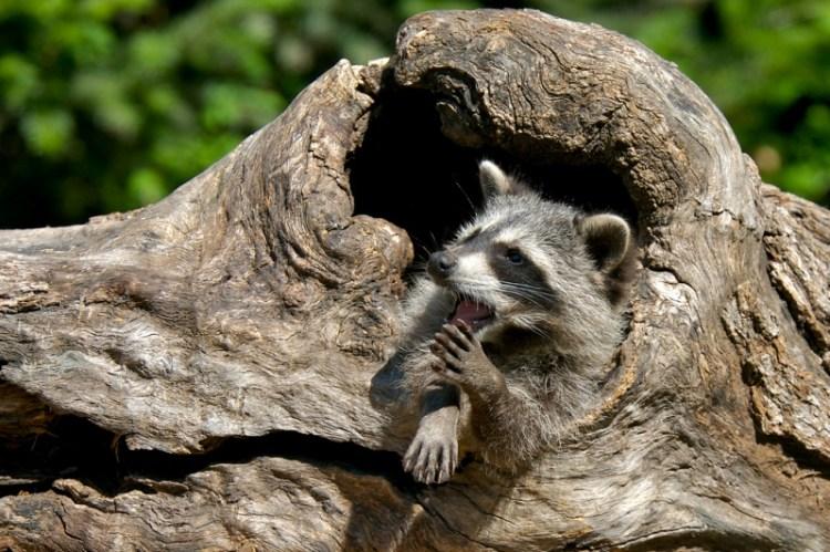 Енот-полоскун в дупле дерева. Фото