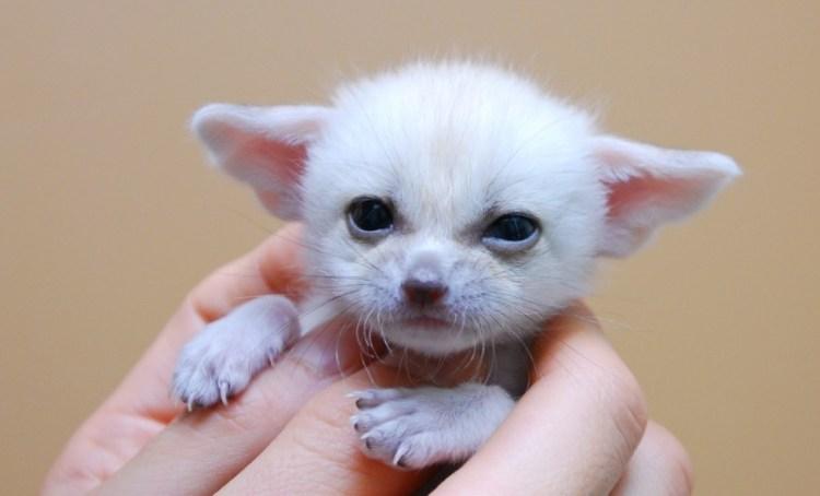 Малыш фенека. Фото