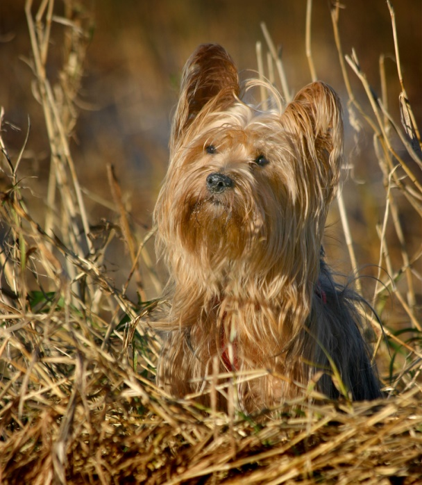 Йоркшир терьер на природе. Фото