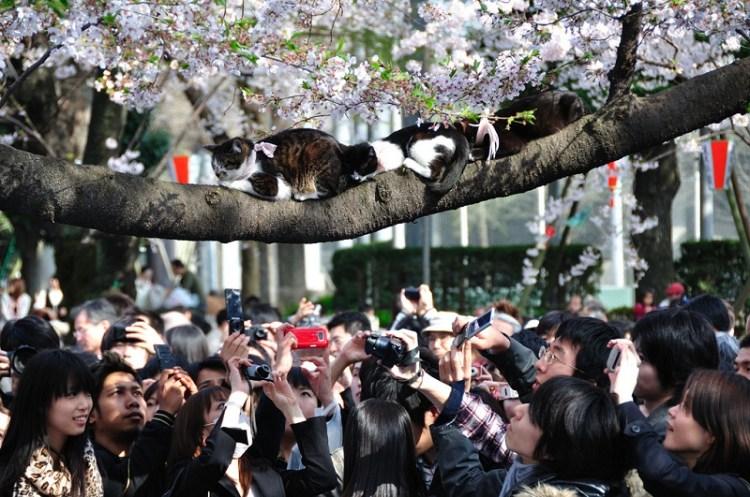 Коты в цветах сакуры. Фото