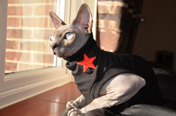 Кот в одежде. Канадский сфинкс. Красивое фото