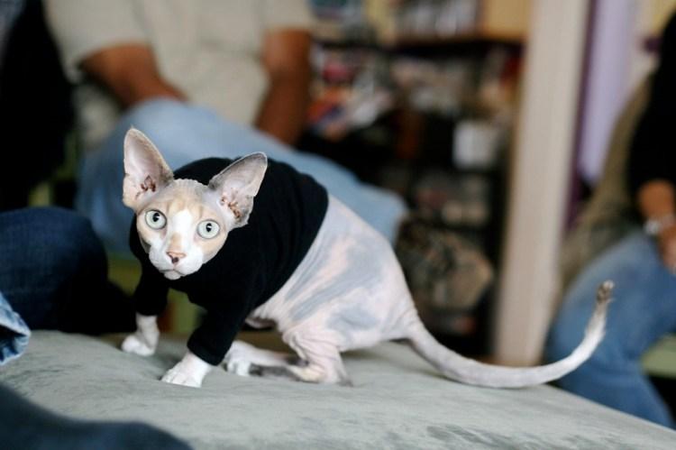 Голая кошка в попонке. Порода канадский сфинкс. Красивое фото