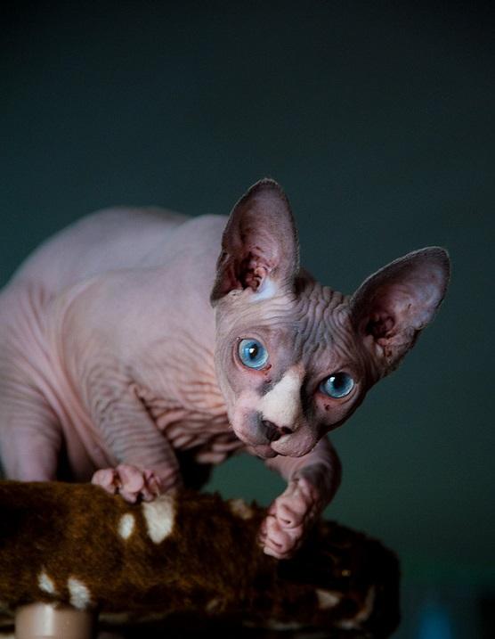 Лысая кошка. Порода канадский сфинкс. Красивое Фото