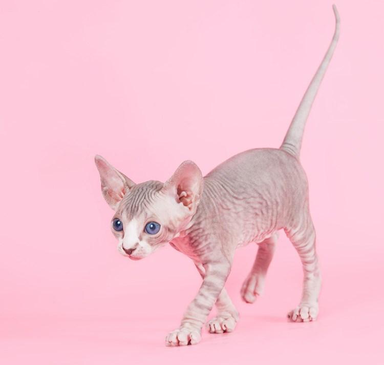 Котенок породы канадский сфинкс. Фото