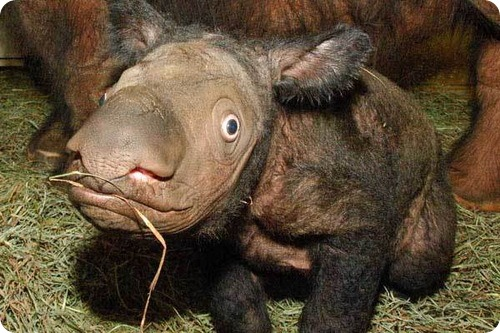 Детеныш суматранского носорога на острове Борнео. Фото