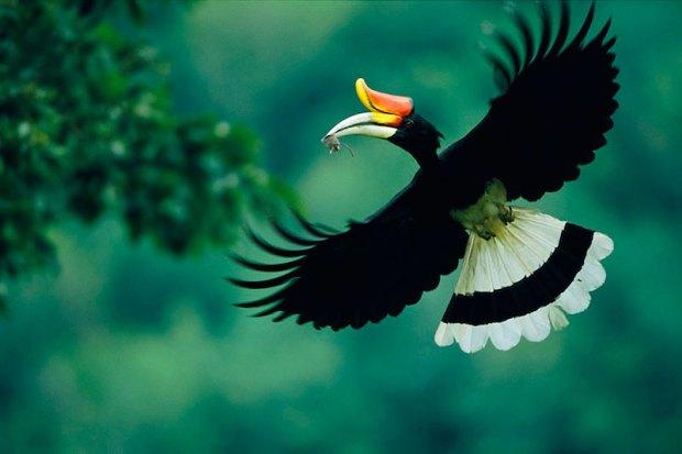 Птица малайский гомран. Фото