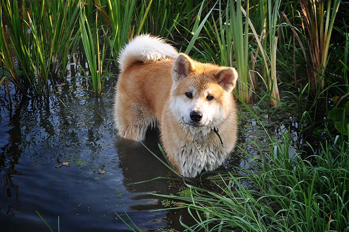 Порода собак японская акита-ину. В воде