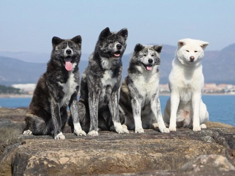 Порода собак японская акита-ину. Белые и черно-белые окрасы