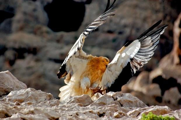 Гриф с архипелага Сокотра. Йемен. Фото