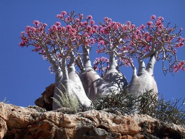Роза пустыни - необычное дерево острова Сокотра. Фото