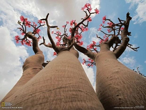 Роза пустыни. Необычное дерево острова Сокотра. Фото