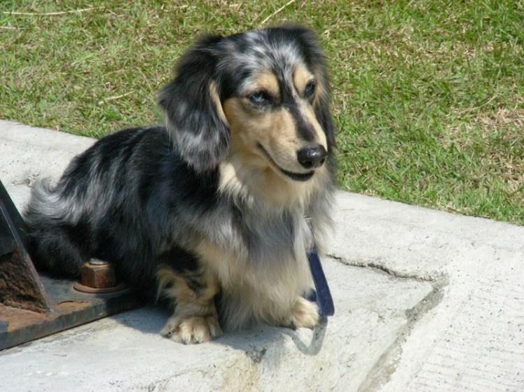 Порода собак кроличья такса. Фото