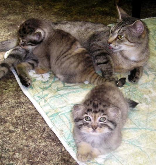 Кошка с манулятами. Фото