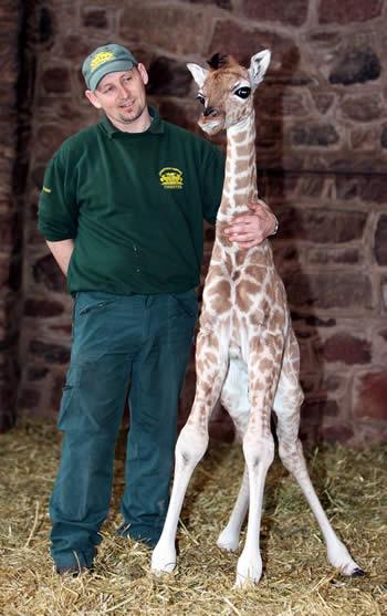 детеныш жирафа Маргарет и ее смотритель. Фото