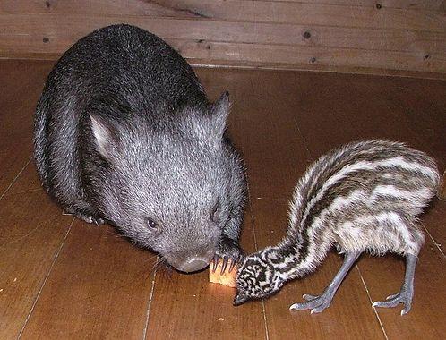 Дружба животных. Вомбат и страусенок