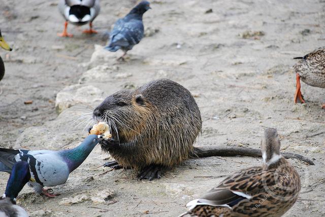 Дружба животных. Нутрия угощает голубя