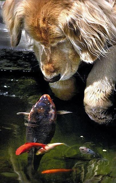 Дружба животных. Собака знакомится с рыбой