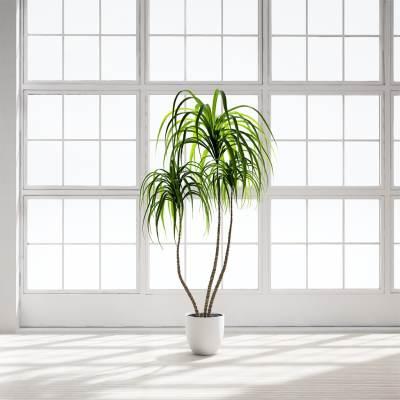 Chocofur_Arecaceae_Palm
