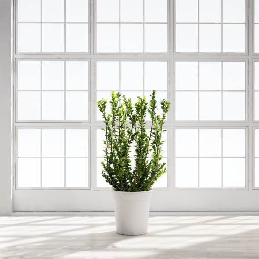 Chocofur_Boxwood_Plant