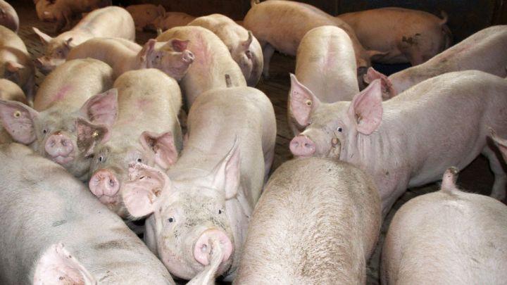 Schweine werden zu schwer für die Schlachtung