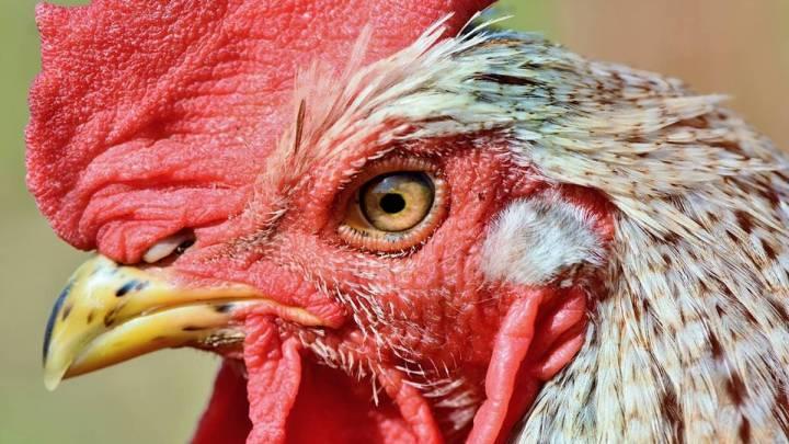 Dramatische Zahlen in Niedersachsen: Die Geflügelpest breitet sich weiter aus