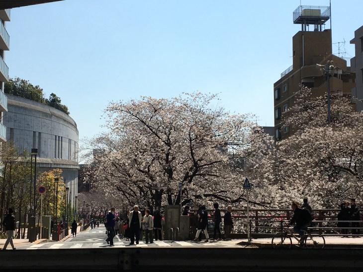 目黒川の桜は、ほぼ満開の咲き。日曜日のお花見までもつのか