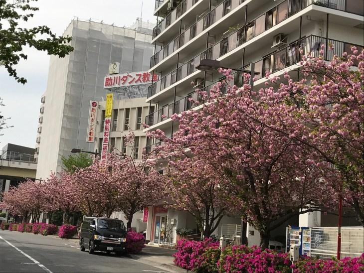 五反田駅近くも八重桜が満開!