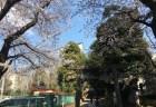 桜満開 氷川の杜公園