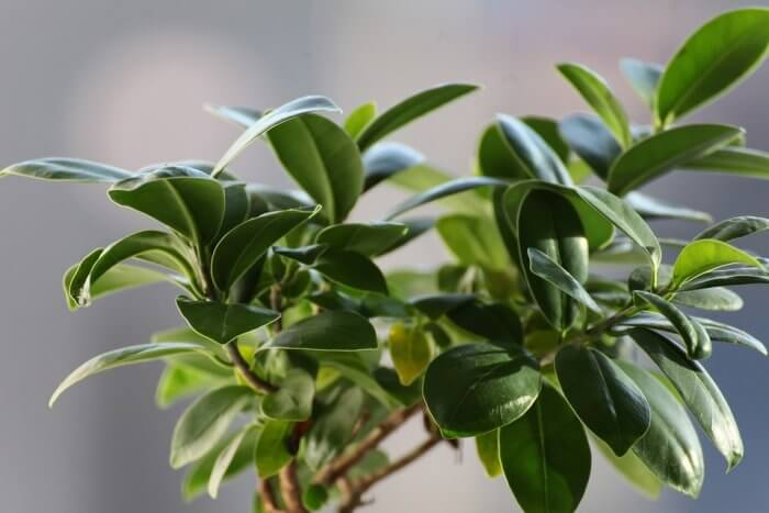frunze de ficus pentru dureri articulare)