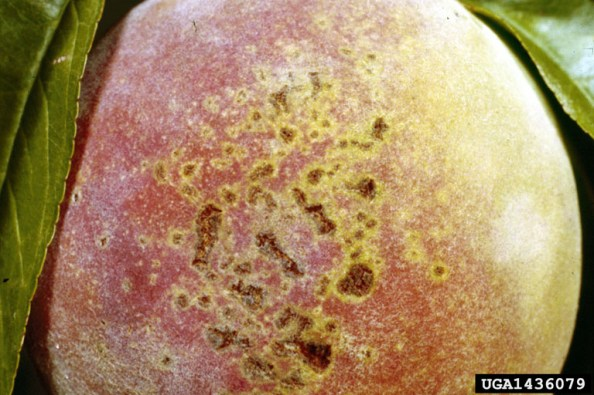 Bacterial Spot on Peach Fruit