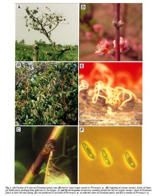 Phomopsis Constriction Canker