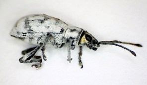 Sri Lankan Weevil, Photo: A. Neal, UF/IFAS