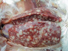 Avian Leukosis1 - Ugonjwa wa kuku: Avian Leukosis (kansa ya kuku)