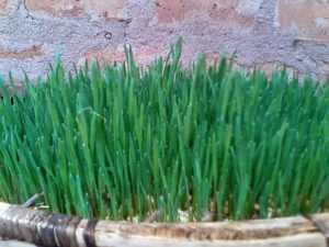 IMG 20150301 WA0008 - Uandaaji wa chakula cha mifugo kwa njia ya hydroponics fodder