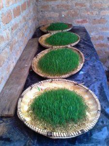 IMG 20150305 WA0002 225x300 - Uandaaji wa chakula cha mifugo kwa njia ya hydroponics fodder