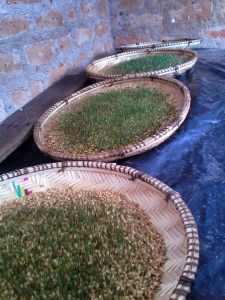 IMG 20150227 175532 - Uandaaji wa chakula cha mifugo kwa njia ya hydroponics fodder