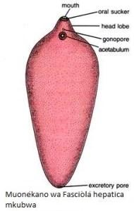 Fasciola H2 - Namna bora ya kupamabana na maambukizi ya minyoo bapa (trematodes) kwa mifugo